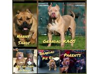 American Xl Bully Puppies. Tri & Carriers