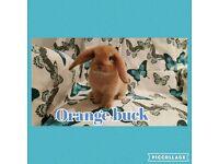 Baby minilop rabbits