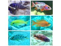 African Cichlids | £6.00 | x5 for £25.00 | 1 -3 inch | Peacocks | Haps | Taiwan Reef | Yellow Labs