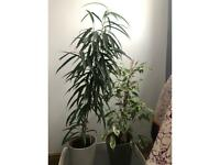 Two houseplants with pots for sale at £15 each