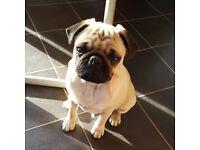 Male Pug Full KC Reg