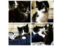 Cute, Adorable, Very friendly kittens for Sale!