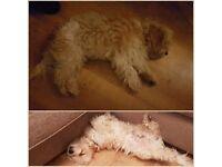 1 yr old cavachon puppy
