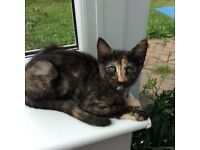 Maine coone/Bengal female kitten