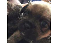 Shih tzu cross pug puppies (SHUG)
