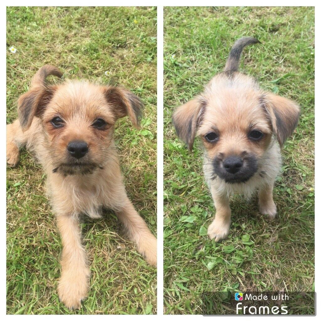 Chorkie Puppies (Chihuahua x Yorkshire terrier