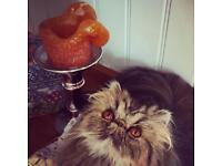 Stunning,Show Quality Persian tabby girl older kitten