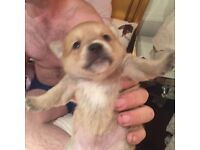 Puppy's for sale Jack Russell crossed Chihuahua