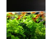 Various platys for sale