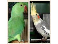 . Bird indian ringneck parrot cockatiel