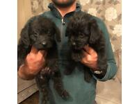Two boy jackapoo puppies