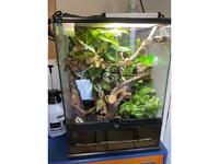Female harlequin crested gecko & bioactive set up