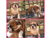 British Bulldog Bitch now ready for new home 9 weeks old £2200 ovno