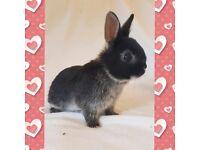 5 beautiful netherland dwarf baby rabbits