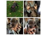 Lancer legacy blue Staffordshire bull pups