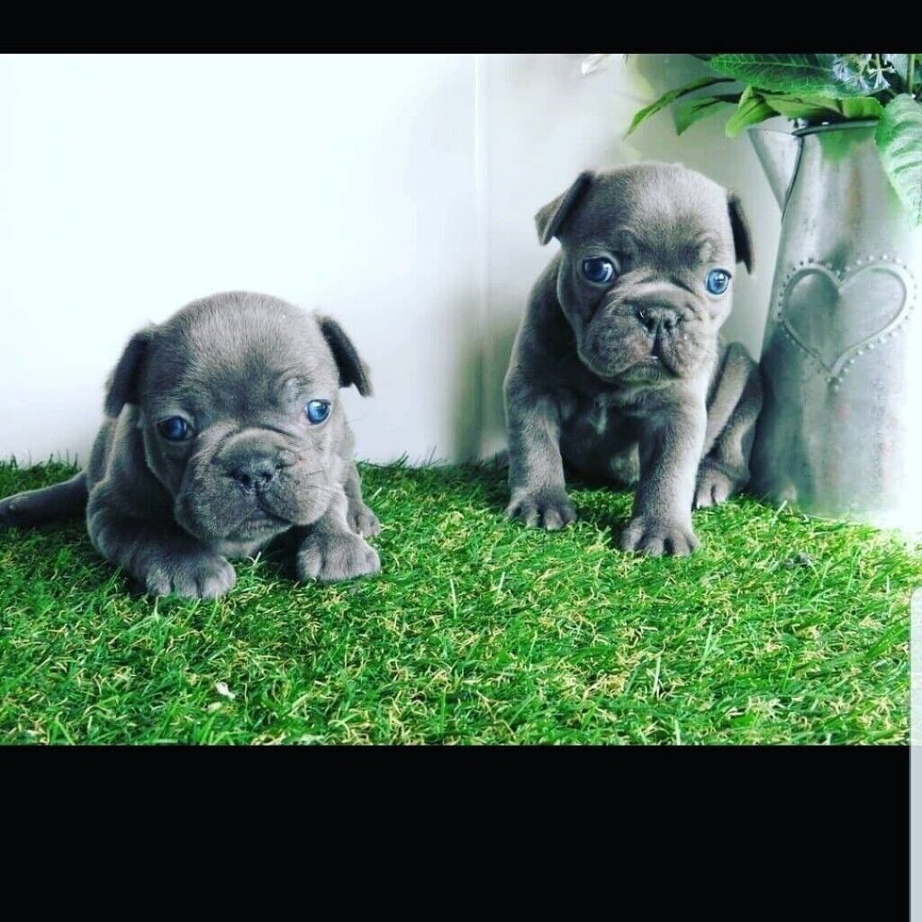 French bulldog puppies | in Manchester City Centre, Manchester | Gumtree