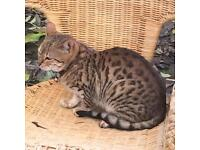 Bengal girl 9 months old tica registered active