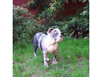Olde english bulldogge blue merle