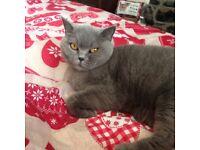 Missing British blue cat