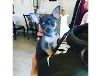 Chihuahua puppie for sale