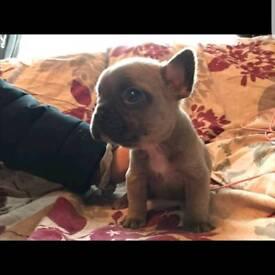 French Bulldog Puppies Ready in a few weeks