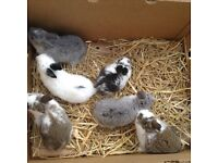 Adorable baby rabbits for sale.