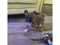 KC French bulldog girl for sale **reduced**