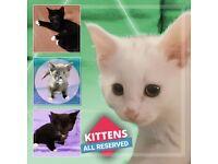 *All Reserved!* F̶o̶u̶r̶ DSH Pure White/ Black & White/ Rare Blue Kittens For Sale