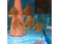 Leopard x Red Turk Young English Discus 3 .5 to 4 inch£12 each