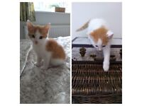 BSH X Kittens - Two boys ready now