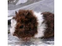 Rare Teddy breed Guinea pig baby