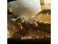 Leopard gecko with tank Matt's etc