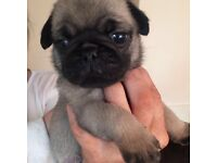 100% pure pug puppies for sale