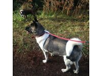 Female Akita looking for 5* forever home