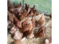 Chickens, Golden Highline Pullets 16wk old.