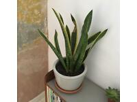 Large snake plant and lovely grey plant pot