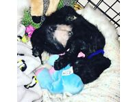 12 week old Cockerpoo puppy FOR SALE