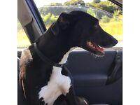 Bull greyhound lurcher for sale