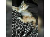 Gorgeous kitten male . So soft and fluffy