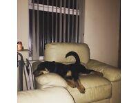 Rottweiler Pup aged 6 Months