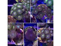 Zoa frag pack (live coral, marine fish tank)