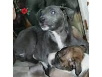 Beautiful Italian Greyhound X Beddlington/Whippet pups