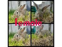 Two 9 week old female bunnies