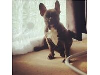 Female french bulldog puppy!!