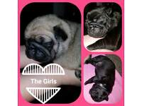 Beautiful litter of pug puppies for sale