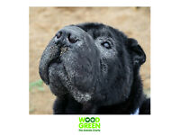Squash - Shar-pei - 7 Yrs Old - Looking for his Forever Home