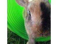 2 male rabbits 1 year old each