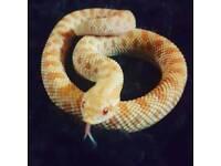 Western albino hognose