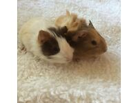 Beautiful baby male Guinea pigs for sale