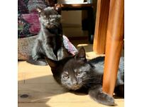 Beautiful Black British Shorthair Kittens
